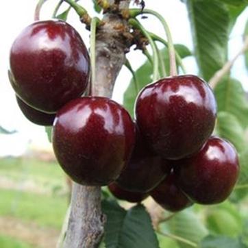 Sadnice voca – aronija, višnja, malina, kupina, šljiva, breskva, jabuka, lešnik